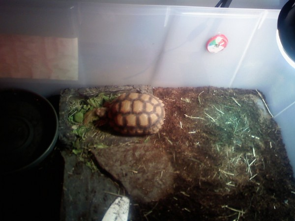 Mr. / Ms. Torty Underbitty in his old indoor enclosure