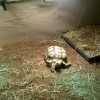 Mr. / Ms. Torty Underbitty sunbathing under the UVB/UVA lamp