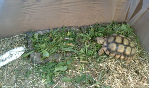 Mr. / Ms. Torty Underbitty munching on the greens from today's menu