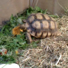 Mr. / Ms. Torty Underbitty enjoying some donated canned pumpkin in the indoor enclosure!